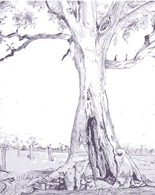 Cazneaux tree, Flinders Ranges